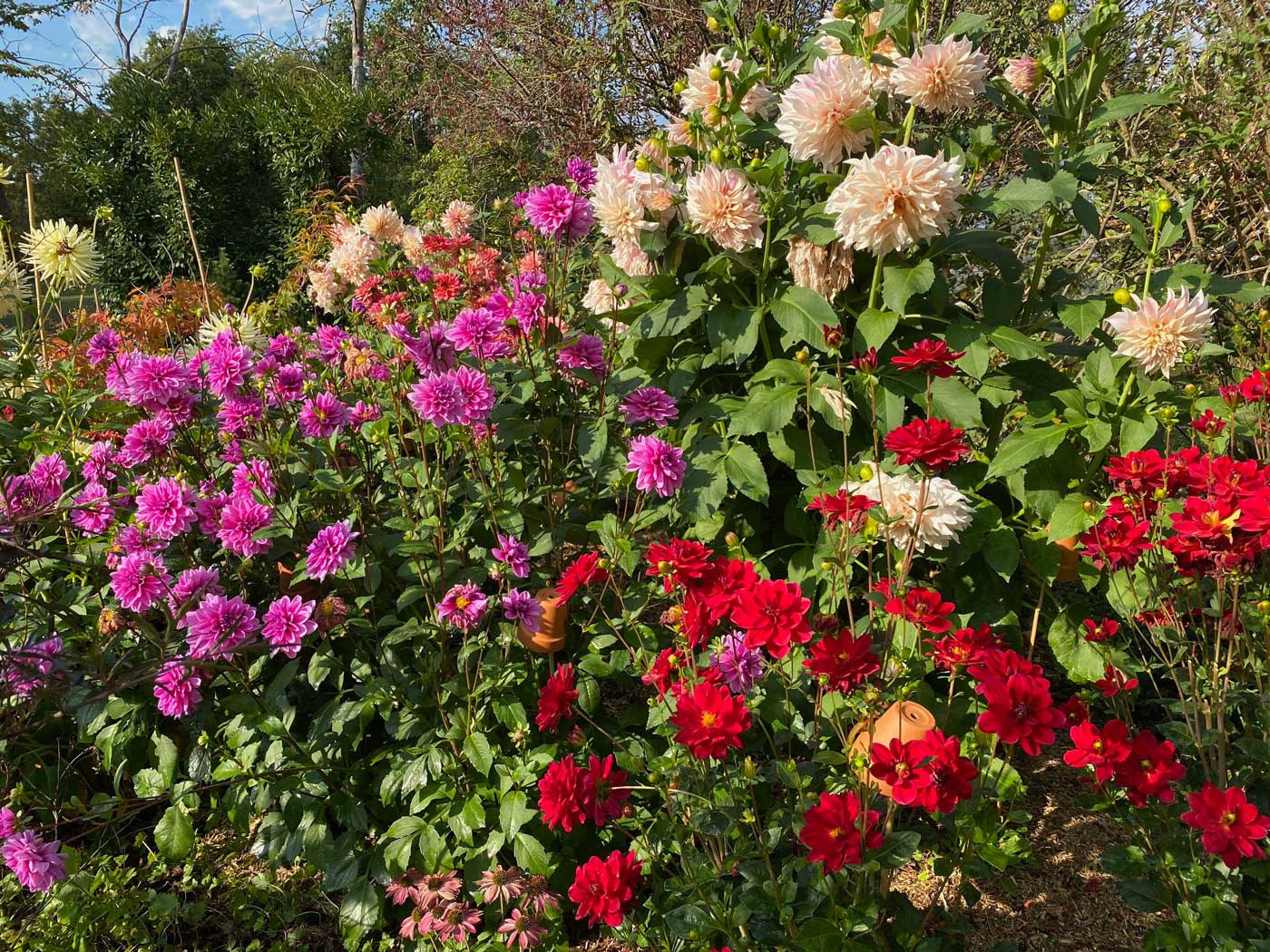growing-dahlias-garden-jardin