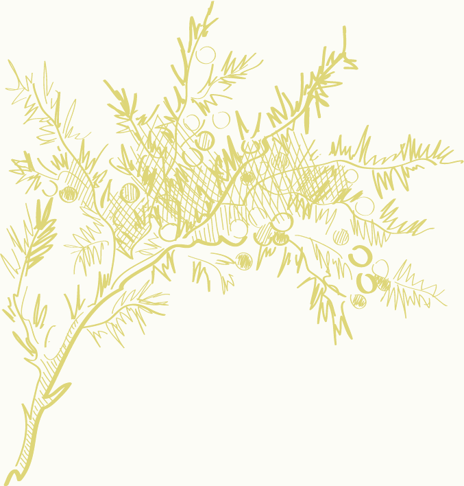 mimosa-illustration