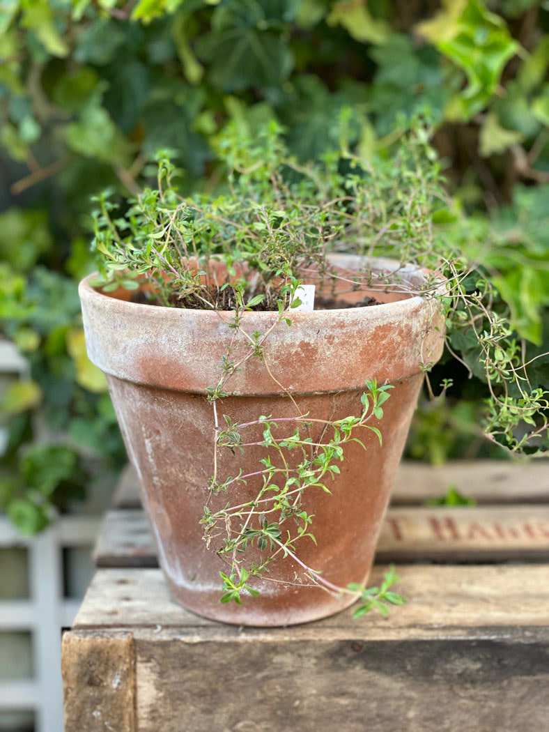 herbes-aromatiques-une-bonne-maison-thym